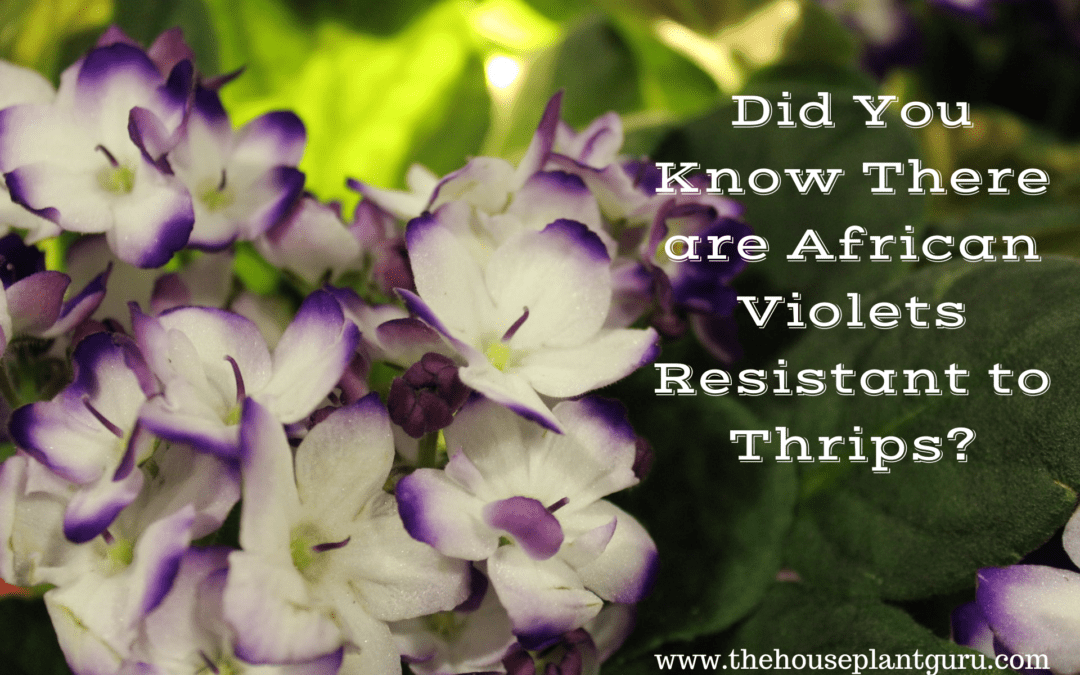 Did You Know There are African Violets Resistant to Thrips