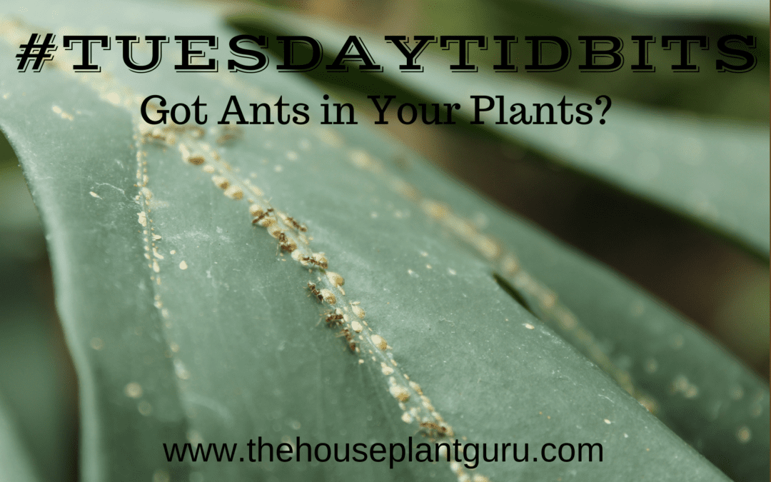 #TuesdayTidbits -Got Ants in Your Plants?