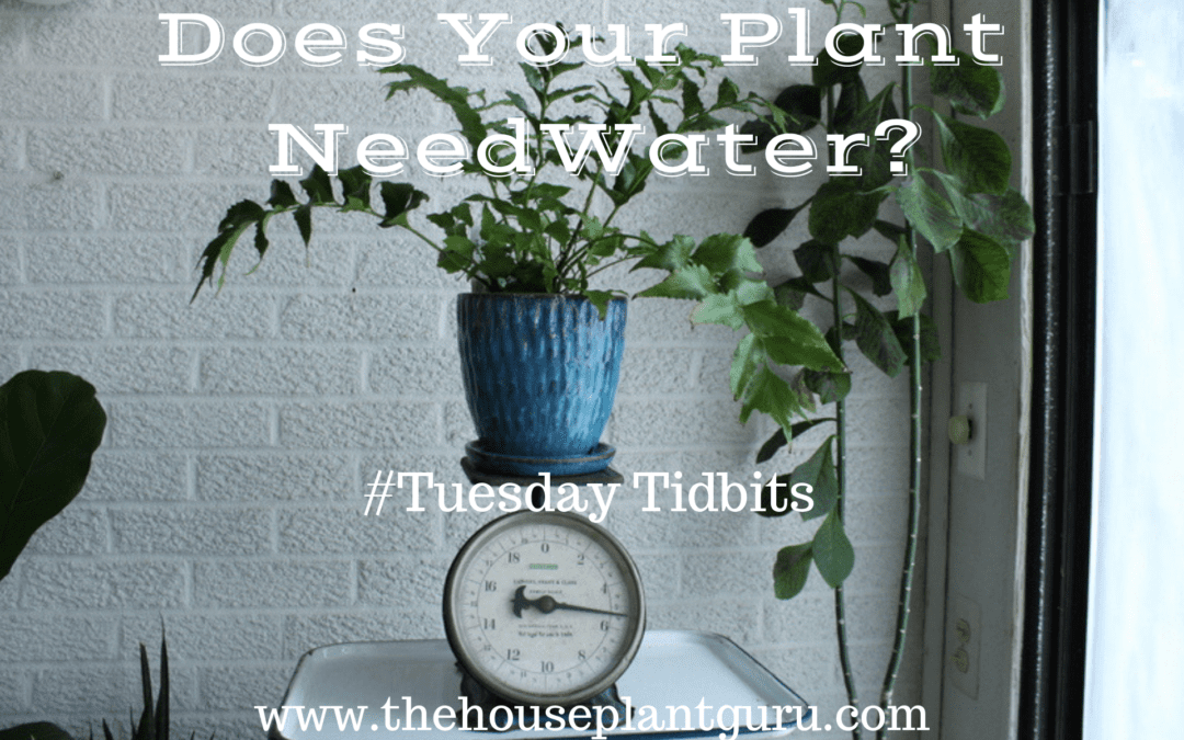 Does Your Plant Need Water? #Tuesday Tidbits