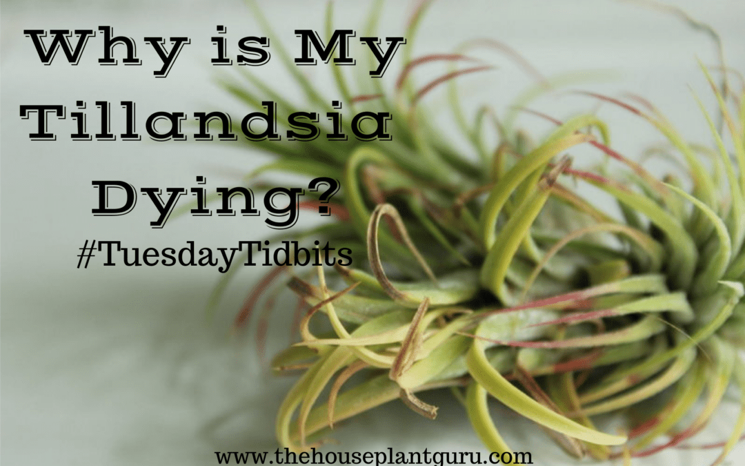 Why is My Tillandsia Dying? #TuesdayTidbits