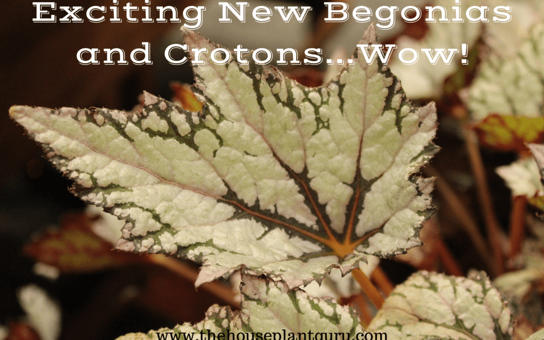 Exciting New Begonias and Crotons….Wow!
