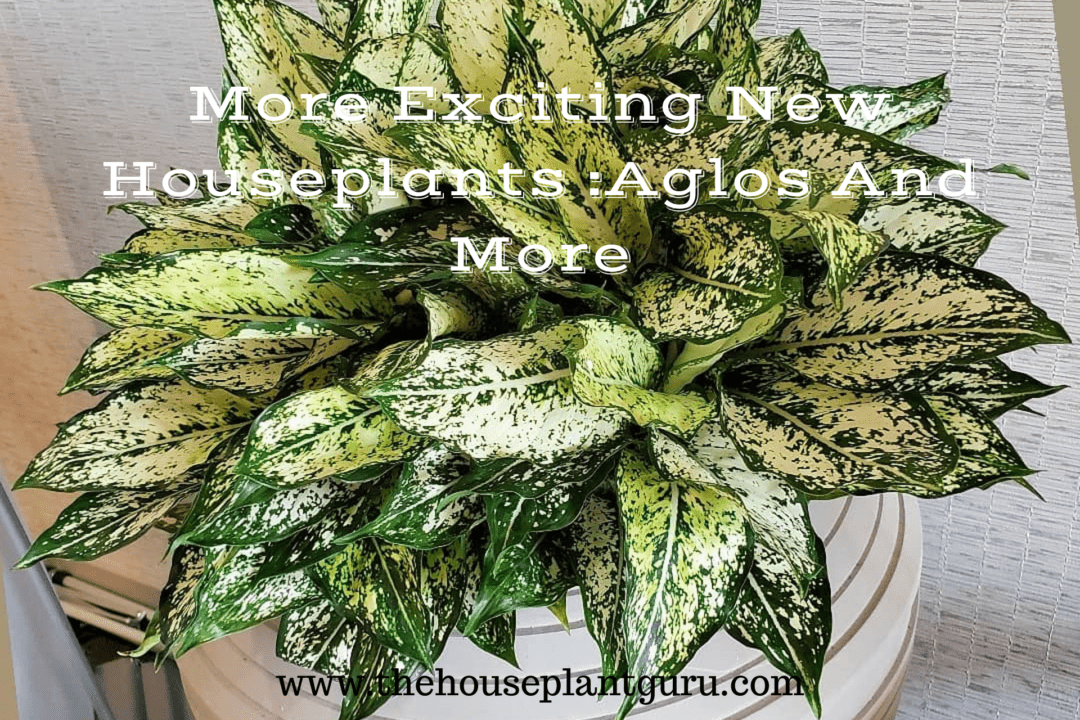 More Exciting New Houseplants: Aglos And More