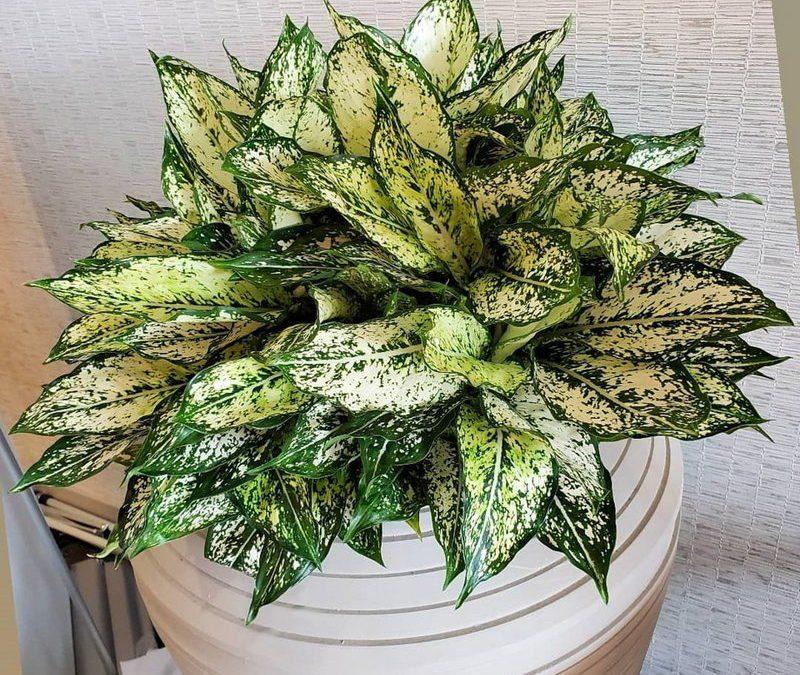 Aglaonema (Chinese Evergreen)