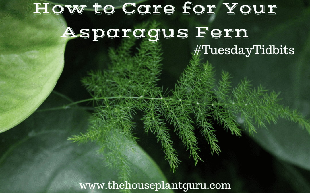 How to Care for Your Asparagus Fern