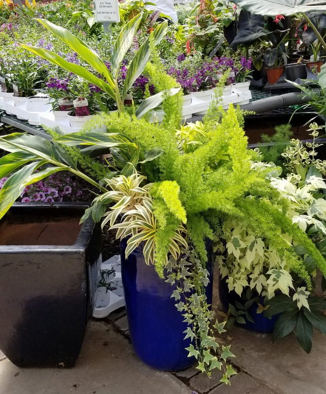 asparagus fern in mixed container