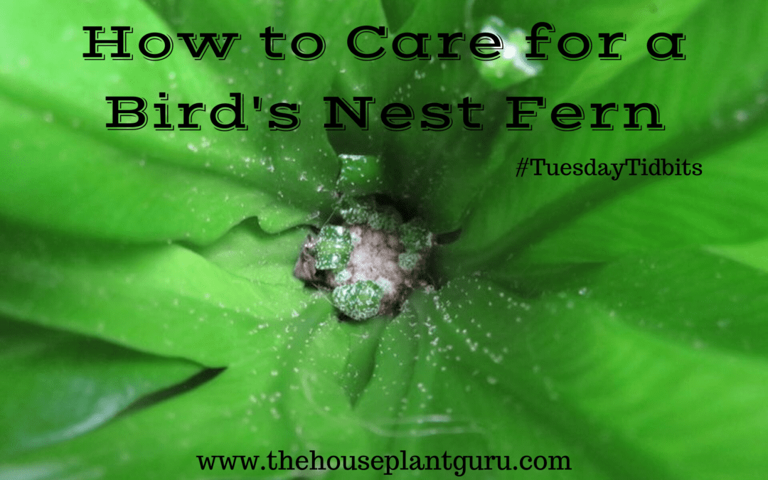 How to Care for a Bird's Nest Fern