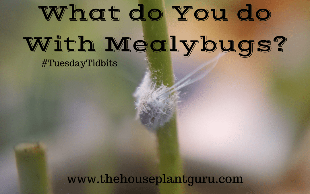 Mealybug Insects and How to Control Them on Your Houseplants