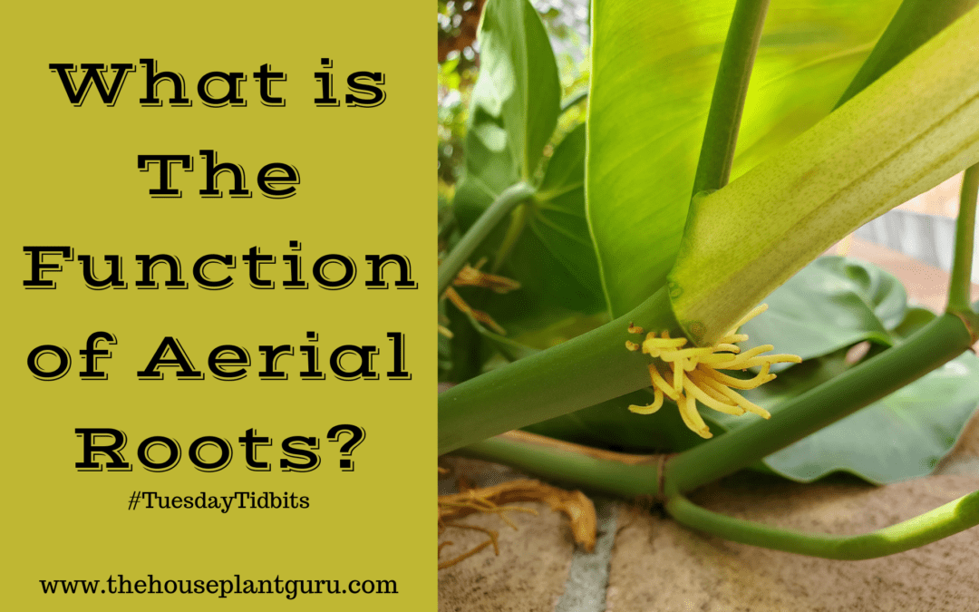 What is The Function of Aerial Roots?