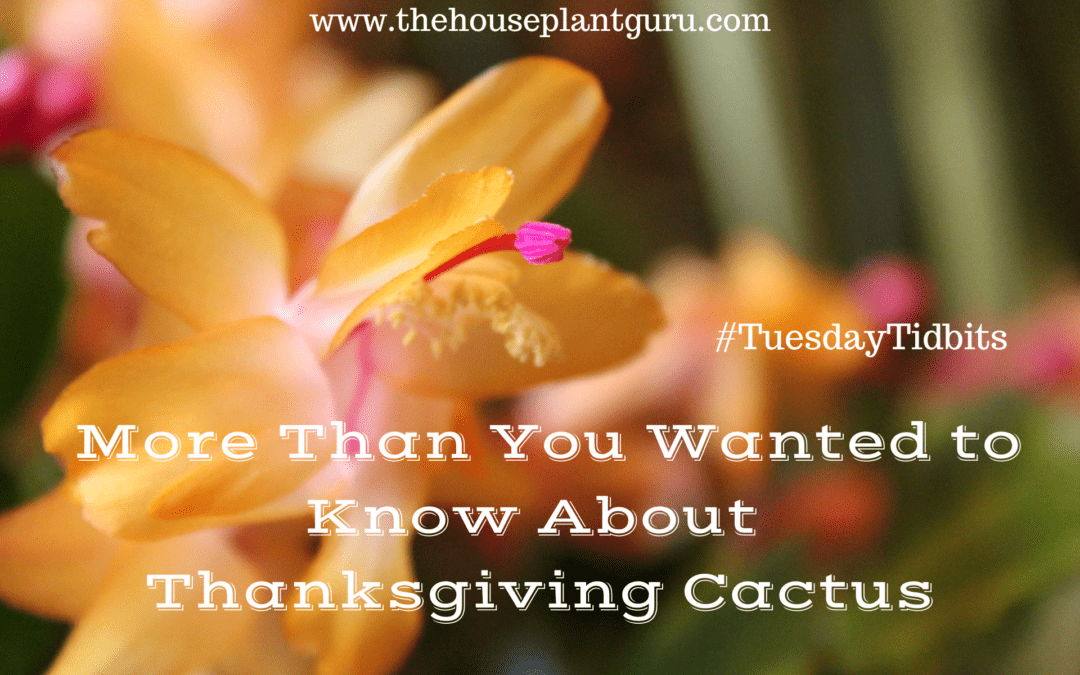 More Than You Wanted to Know About Thanksgiving Cactus