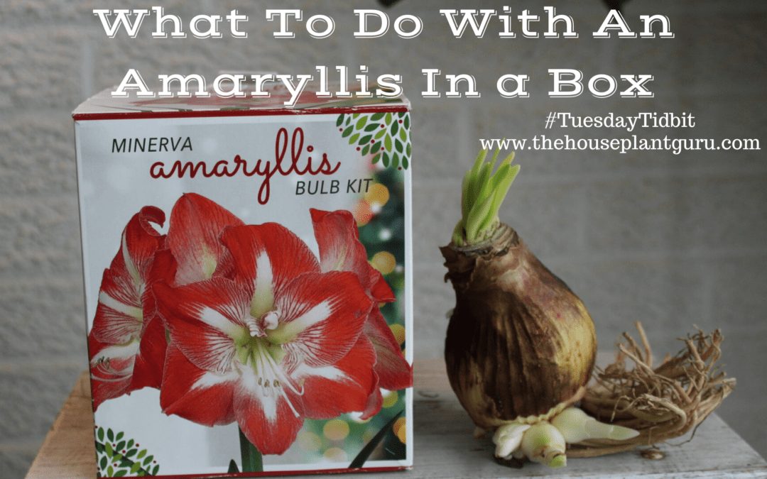 What To Do With An Amaryllis In A Box