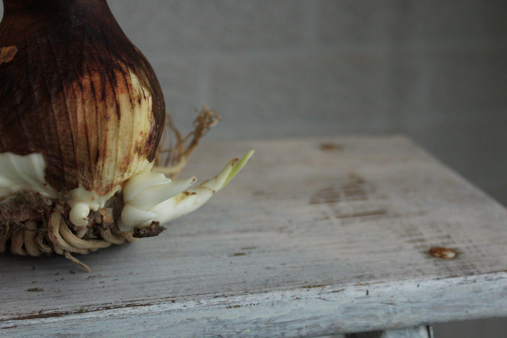 Amaryllis bulblets coming off bulb