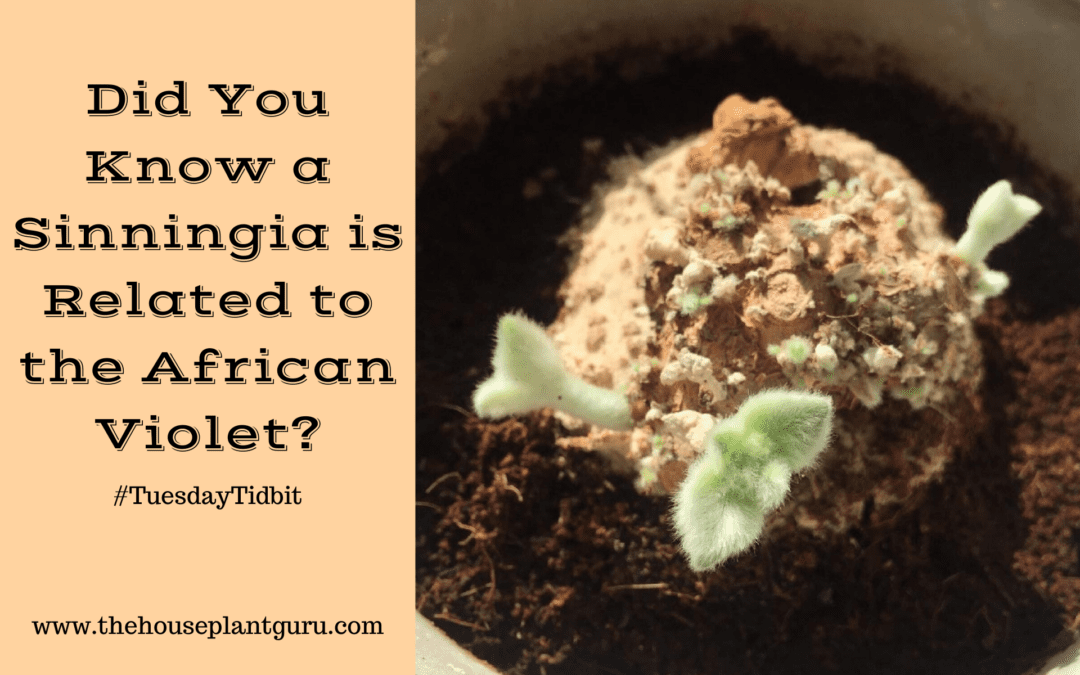 Did You Know a Sinningia is Related to the African Violet?