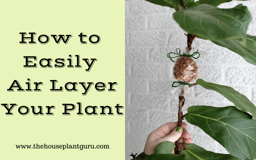 How to Easily Air Layer Your Plant