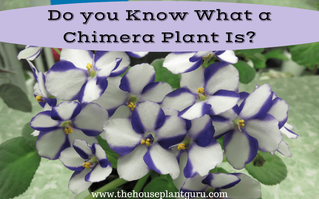 Do you Know What a Chimera Plant Is?