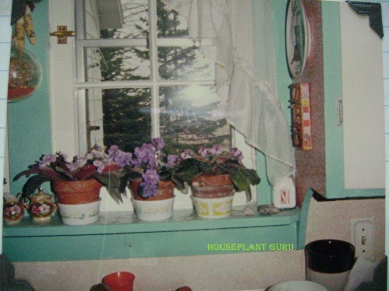 African violets on windowsill
