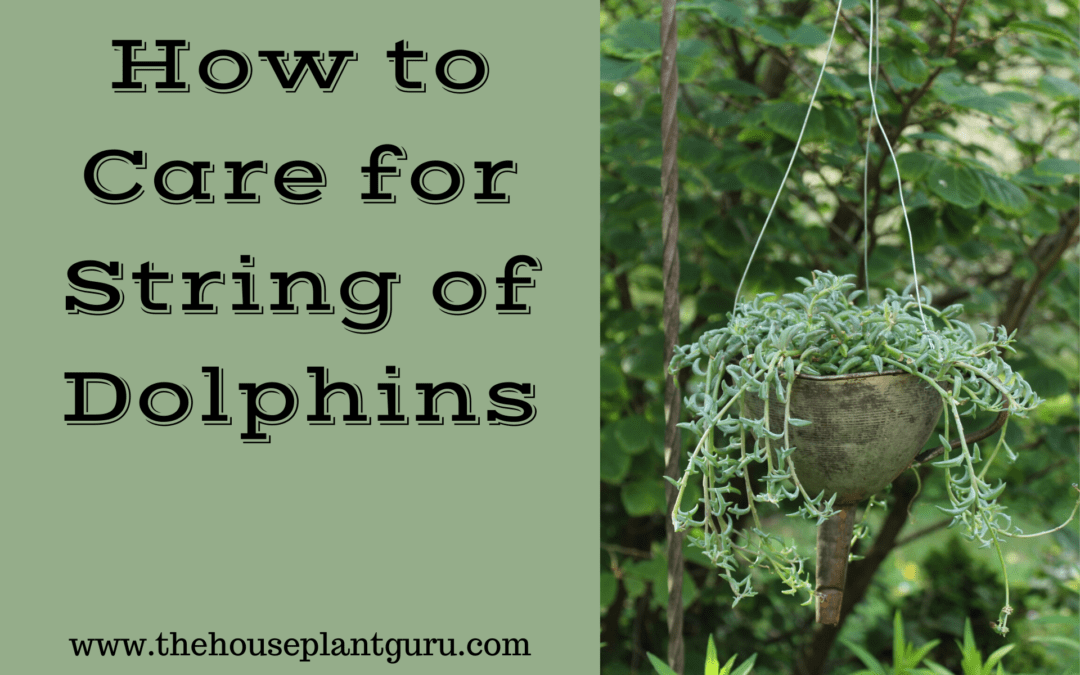 How to Care for String of Dolphins