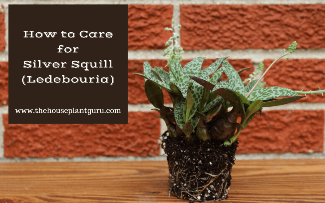How to Care for Silver Squill (Ledebouria)