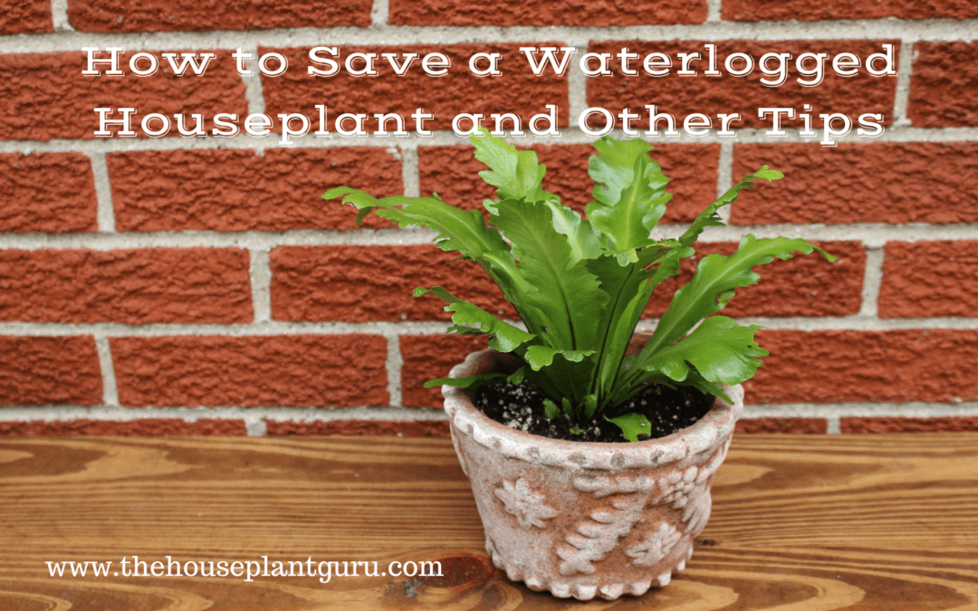 How to Save a Waterlogged Houseplant and Other Tips