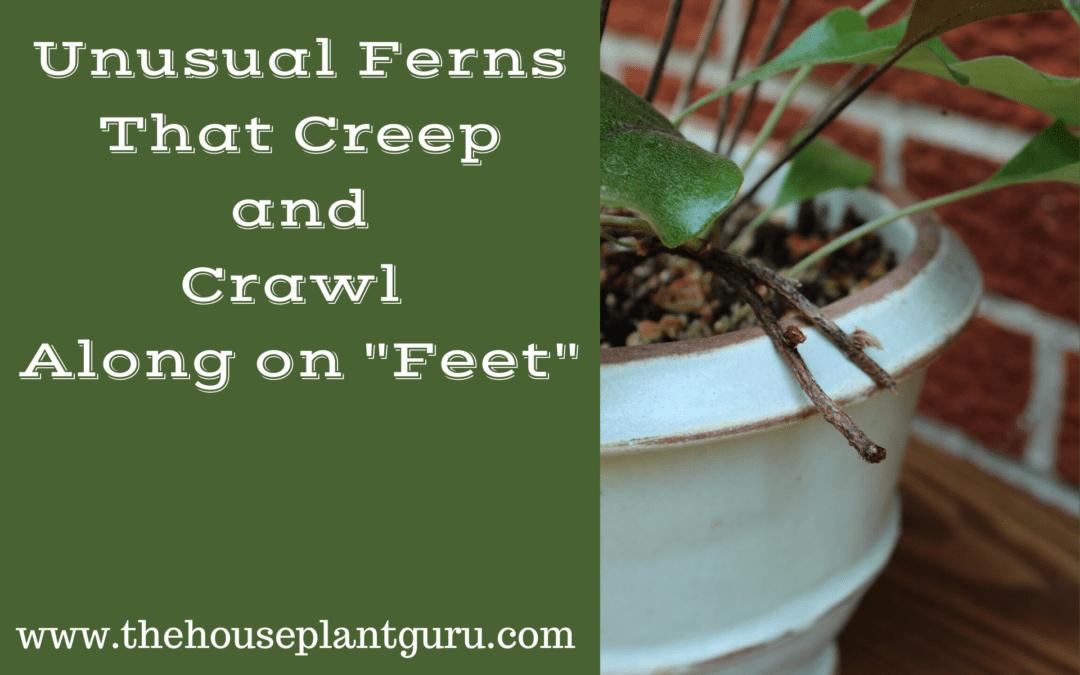 "Unusual Ferns That Creep and Crawl Along on ""Feet"""