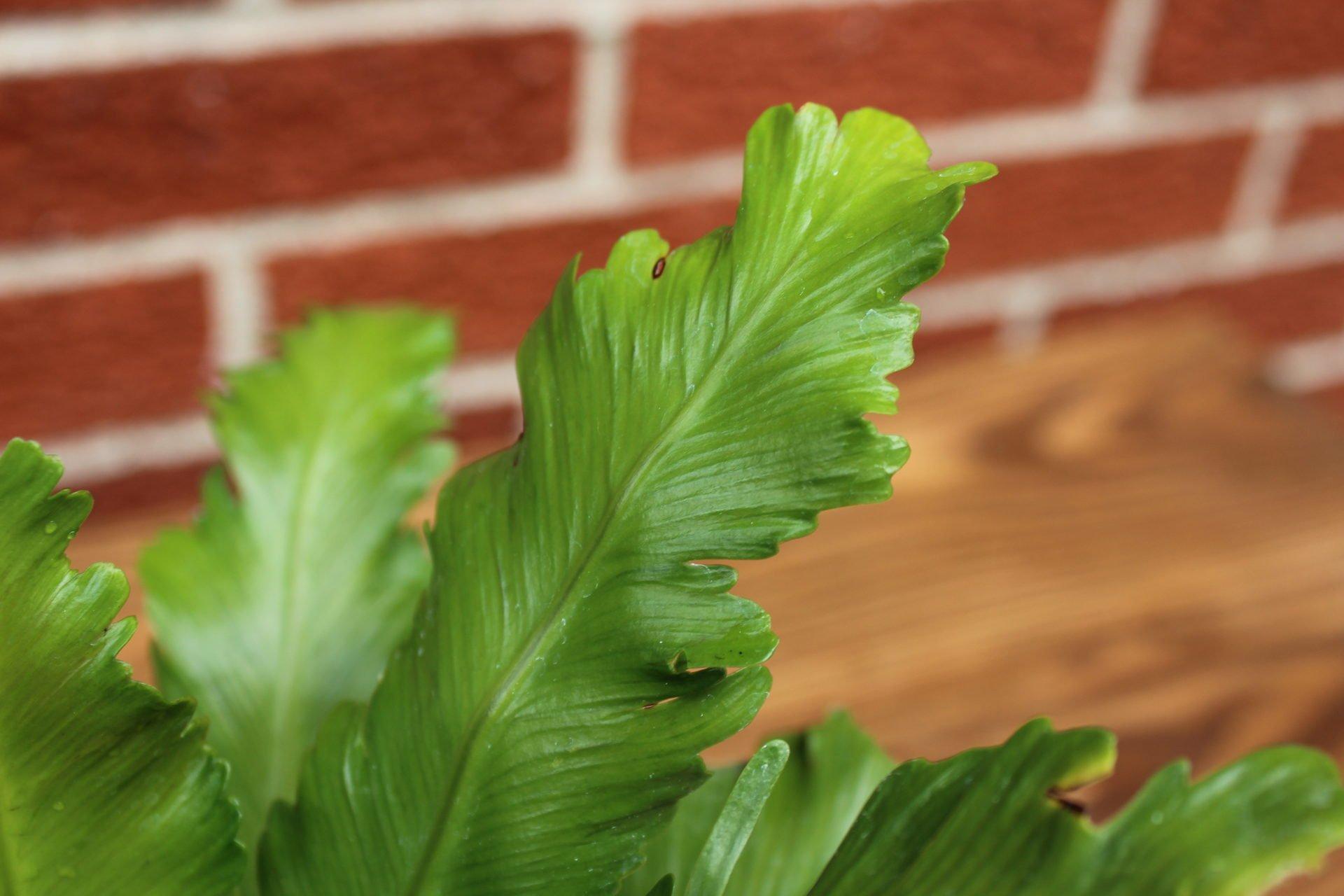 Cleaned leaf