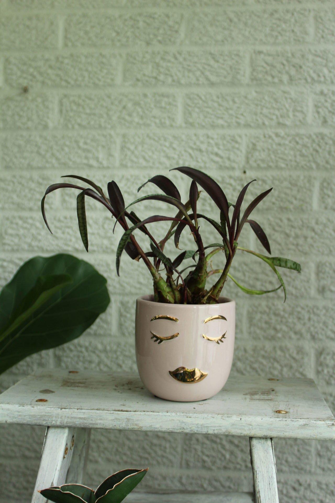 Ledebouria face vase
