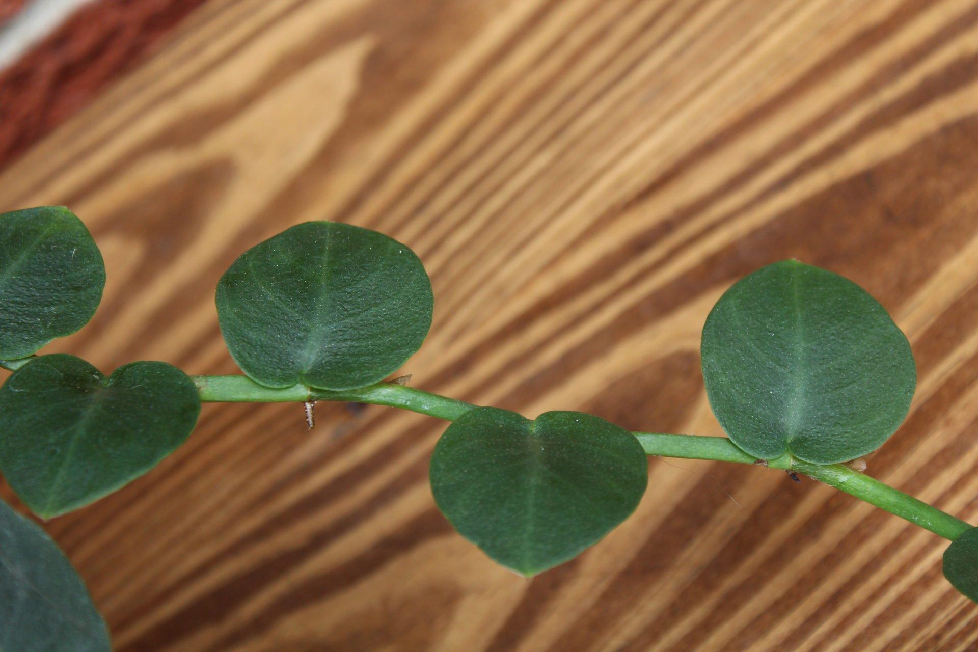 shingle platn leaves