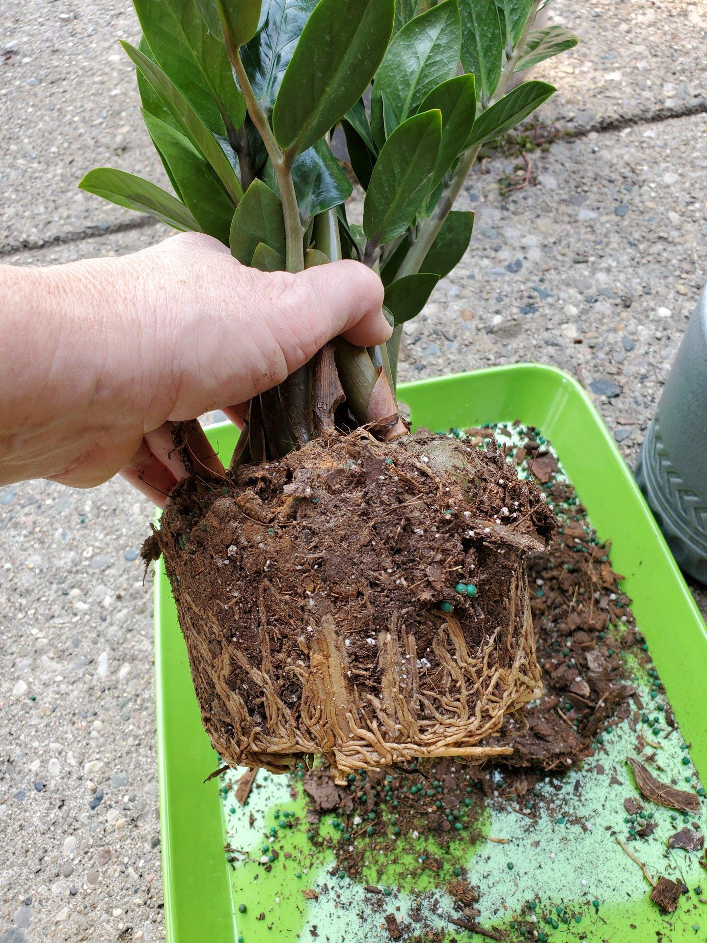 ZZ plant root bound