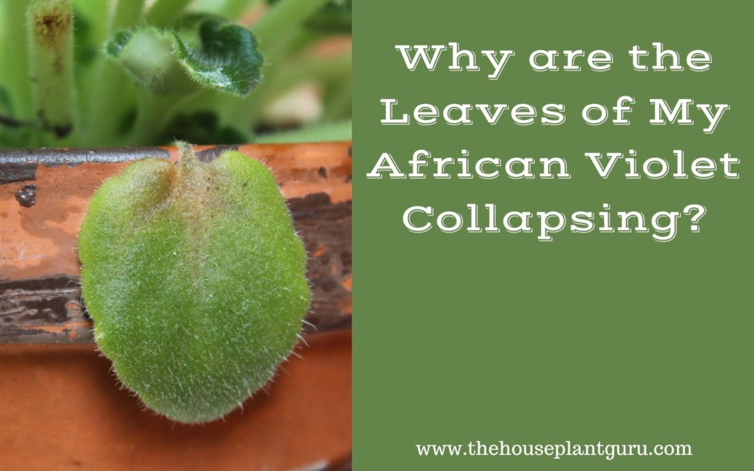 Why Are the Leaves of My African Violet Collapsing?
