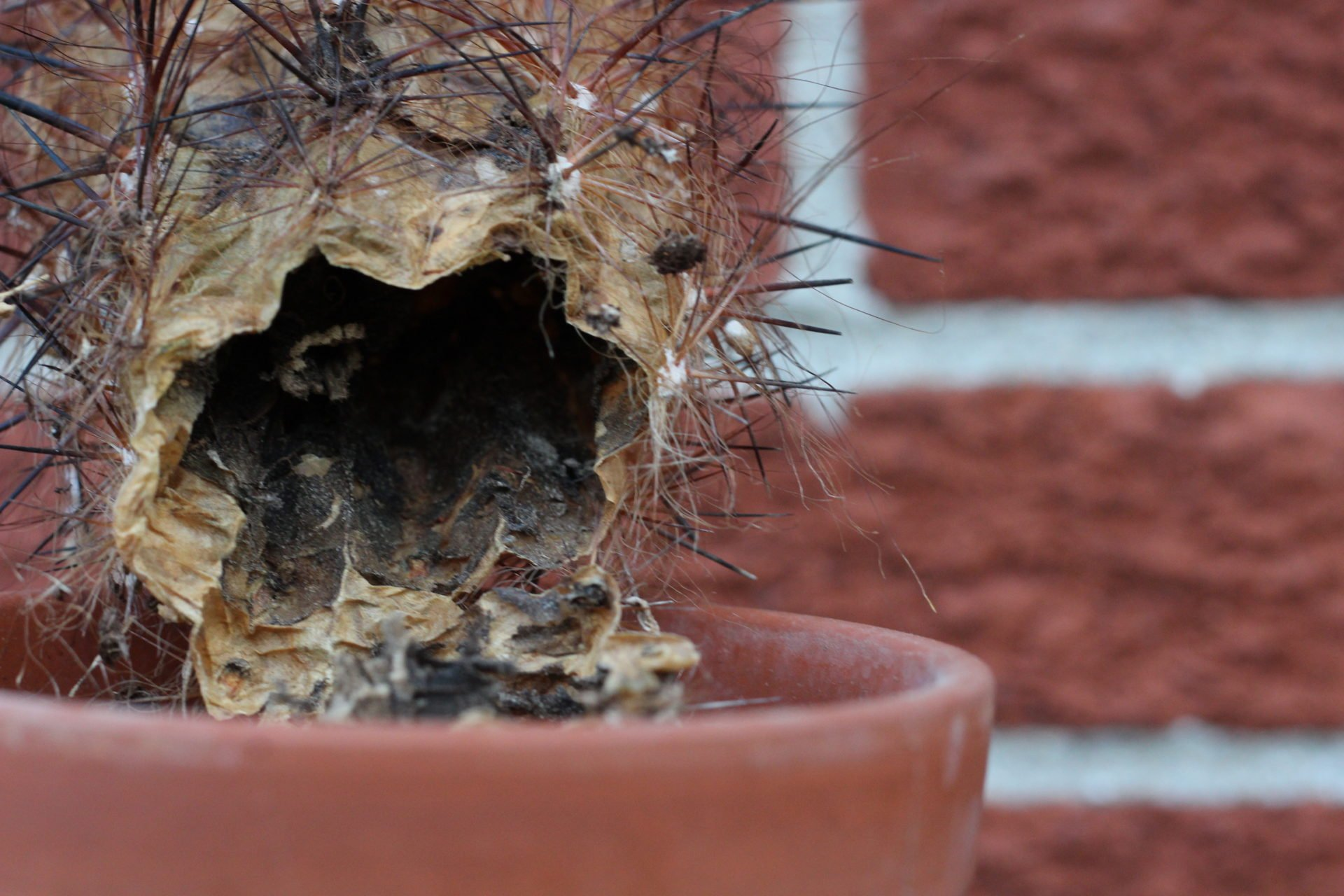 hollow cactus