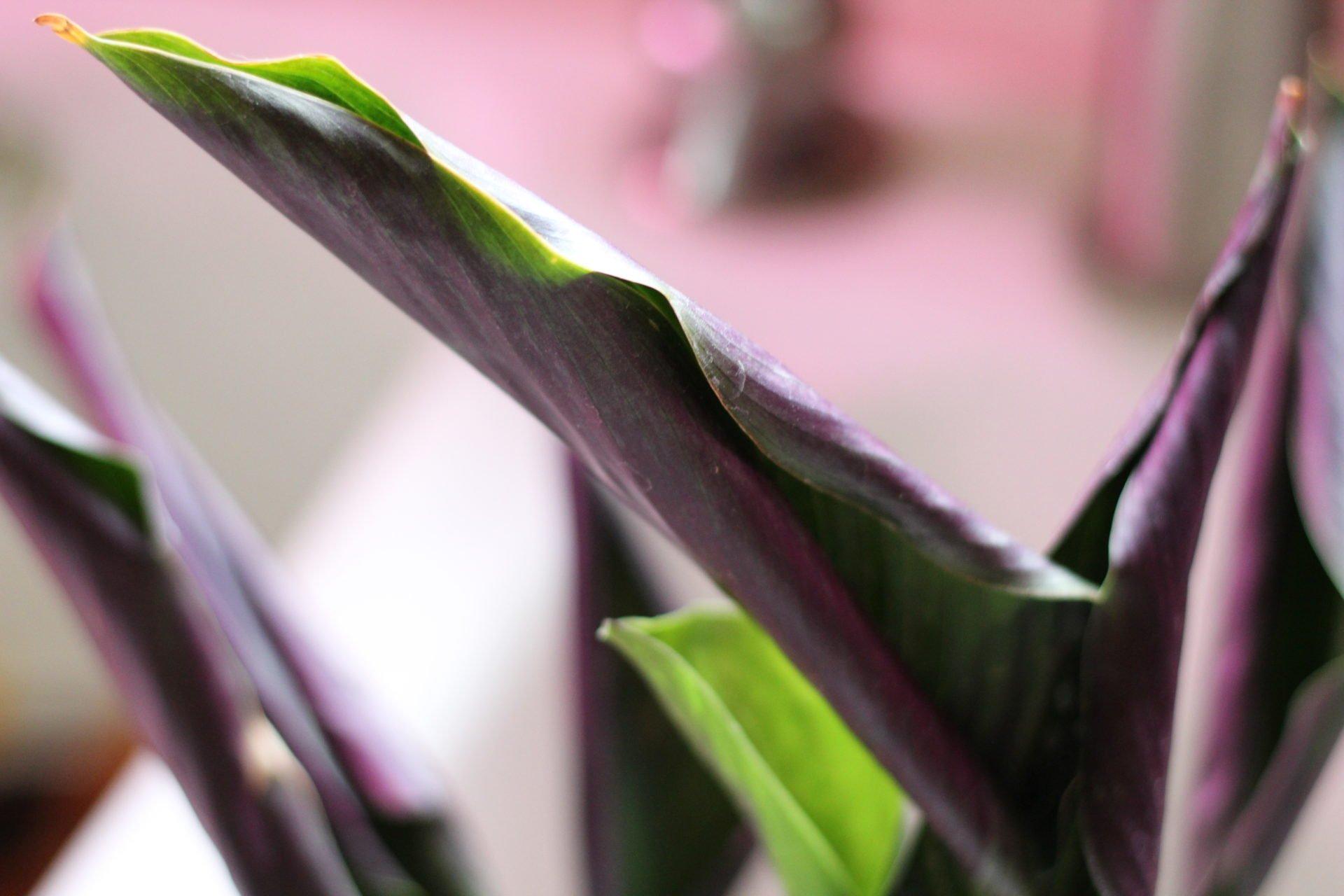 dry calathea leaves