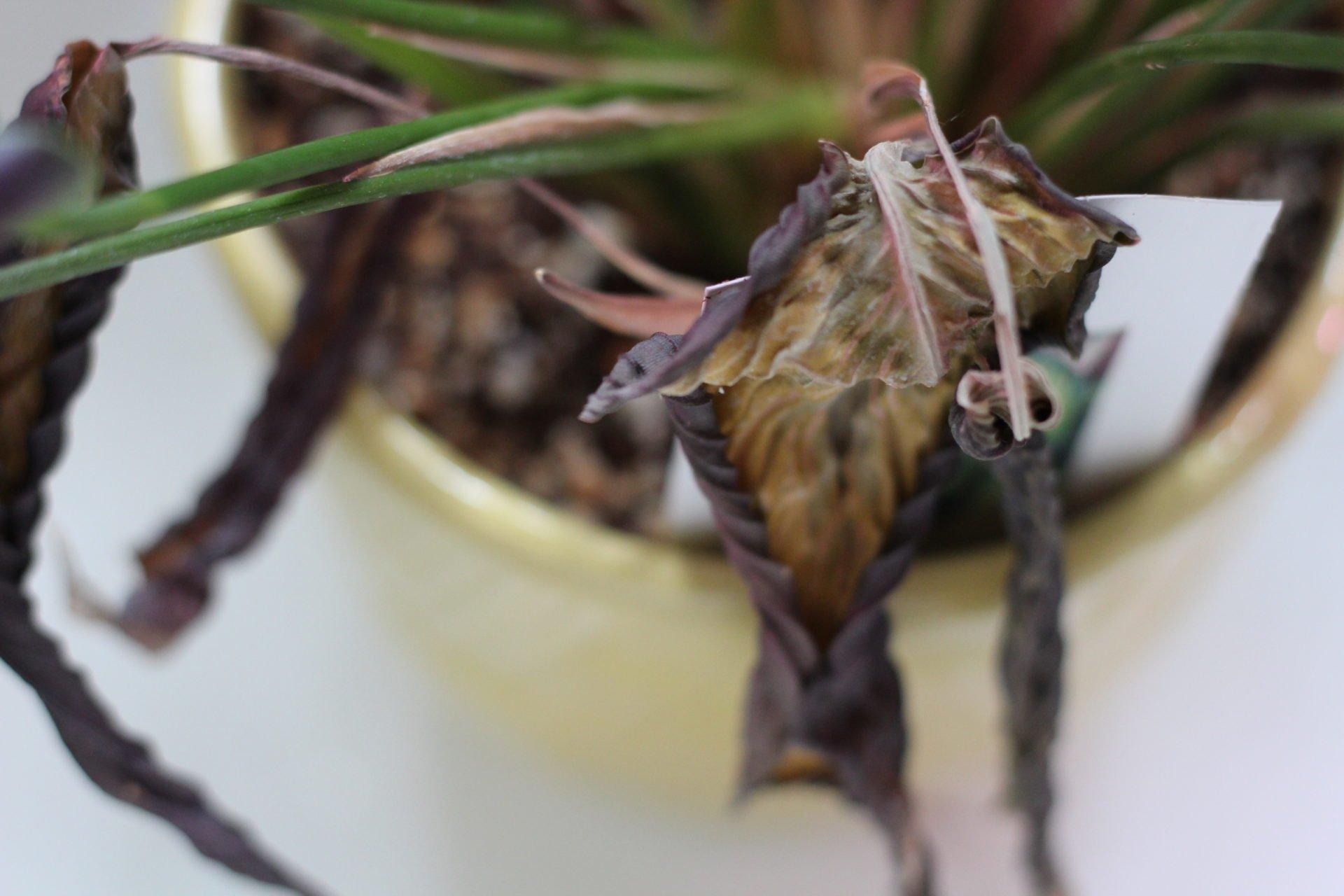 dead calathea leaves