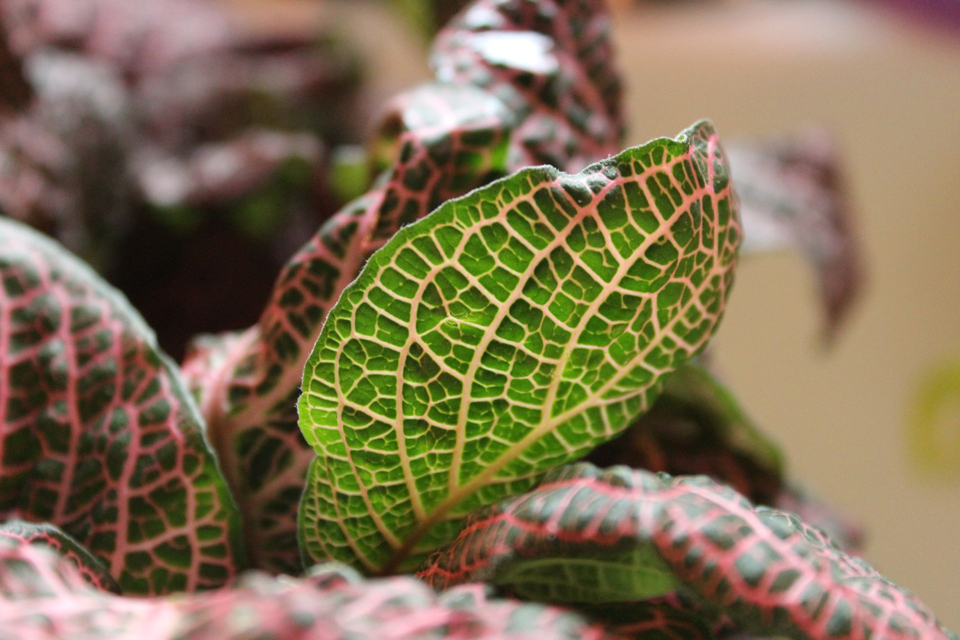 Fittonia 'Pink Wave'