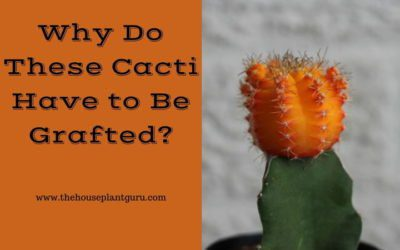 Why Do These Cacti Have to Be Grafted?