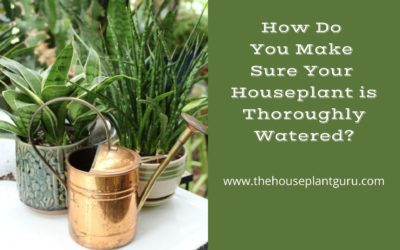 How Do You Make Sure Your Houseplant is Thoroughly Watered?