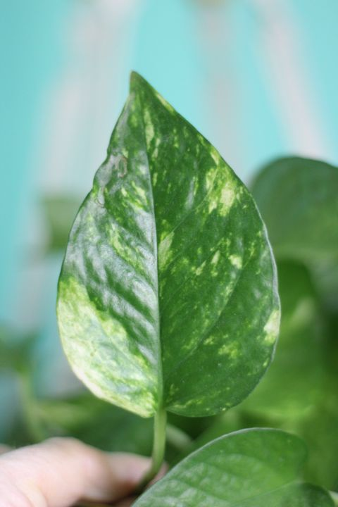 Epipremnum aureum