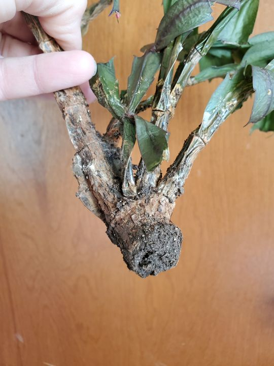 Rotted Thanksgiving cactus