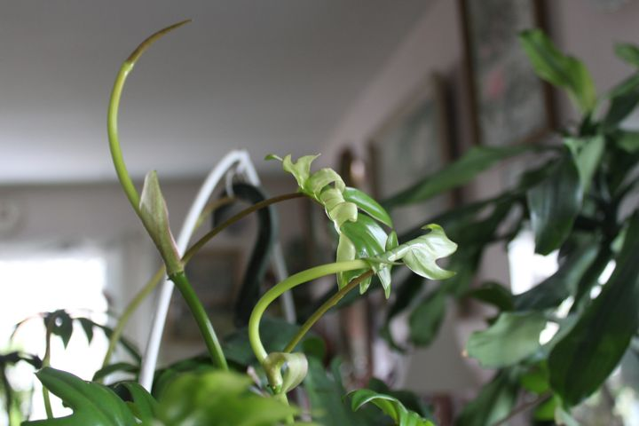 Philodendron growth