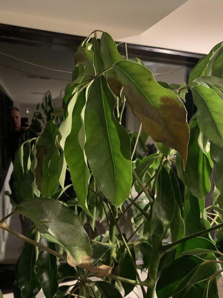 schefflera leaves