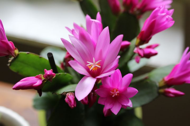 pink Easter cactus
