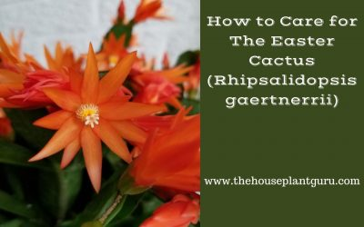 How to Care for the Easter Cactus Rhipsalidopsis gaertnerrii