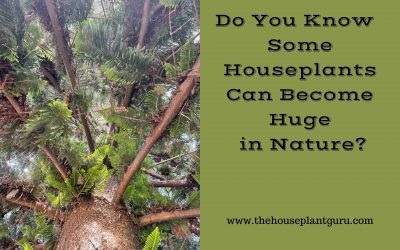 Do You Know  Some Houseplants Can Become Huge in Nature?