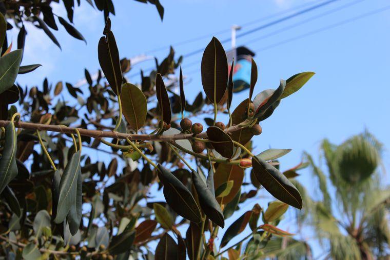 Ficus elastica fruit