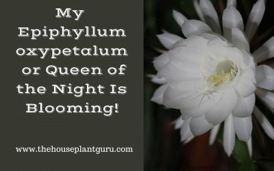 My Epiphyllum oxypetalum or Queen of the Night Is Blooming!