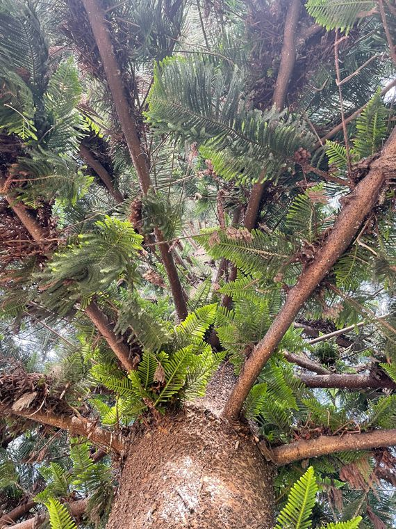 Norfolk Island Pine