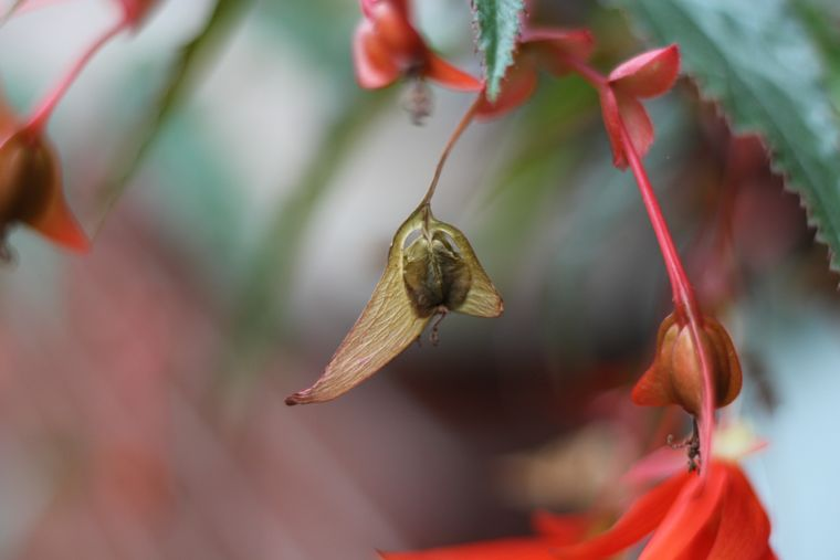 begonia seed pods